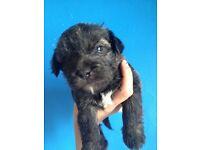 Half Yorkshire terrier half shitzu puppies