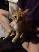 8w Half Bengal Kitten