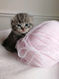 Stunning British Shorthaired Tortie Kittens For Sale : Only 3 Left!!