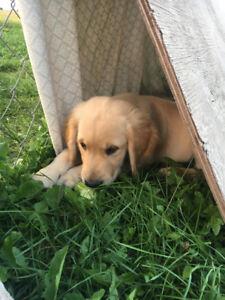 MALE Golden Retriever puppy READY TO GO