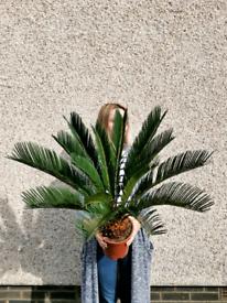 Beautiful Cycas Revoluta Sago palm tree houseplant indoor plant