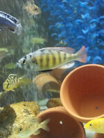 African Cichlids (Direct from Breeeder)