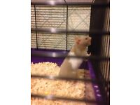 Syrian hamster for sale still a baby