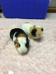 Sibling year old female crested guinea pigs