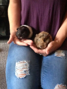 TWO GUINEAPIGS!