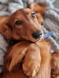 Show type red longhair dachshund f puppy