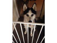 1 year old Husky
