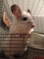 Chinchillas - 3 females