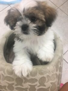 No longer available-Free puppy to approved home only