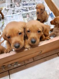 Kc Fox Red Labrador puppies