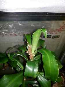 Baby Crested Gecko for sale
