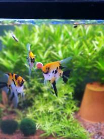 Koi Angelfish SOLD