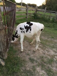 Holstein steer for sale  Peterborough Peterborough Area image 2