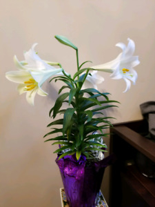 3 Easter Lily Plants