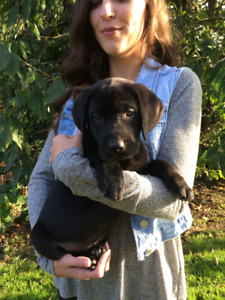 Beautiful Black Labrador Puppies are Available