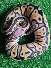 Various Royal Pythons