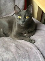 Free Beautiful Russian Blue To Loving Home