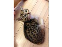2 stunning tabby kitten