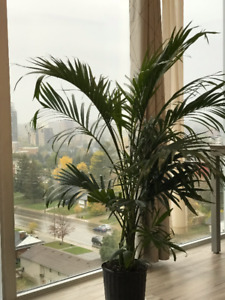 Beautiful Tropical House Plant - Cat Palm 4 Feet Tall