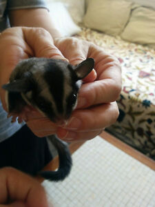 Two Male Sugar Gliders Looking for Forever Home Cambridge Kitchener Area image 5