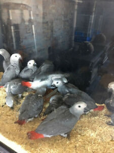 Hans raised super cute adorable AFRICAN GREY CONGO Babies