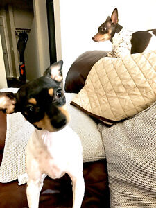 2- Rat Terriers for Adoption