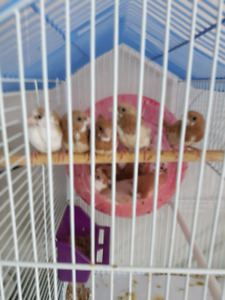 Society finches for sale $10 (FIRM) each