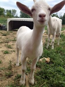 Goats- Pure saanan kids for sale