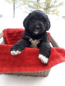 F1B Labradoodles forsale