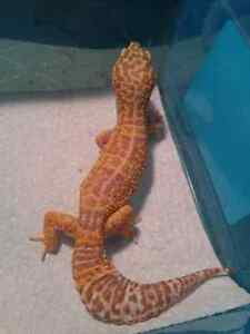 Female tremper albino forsale