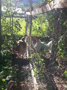 Bourbon red and Beltsville small white turkey eggs for sale