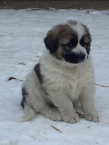 Caucasian Ovcharka/Great Pyrenese/Malamute Cross