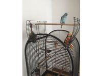 Blue Indian ring neck parrot hand tame