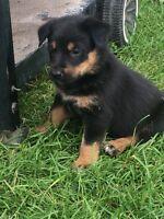 Border Collie- Golden Retriever / Blue Heeler Pups
