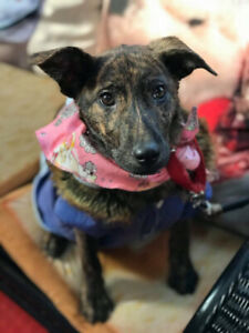 5 months brindle puppy for adoption