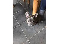 KC registered French Bulldog Pup