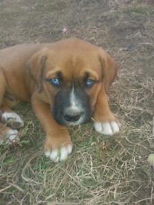 Boxer x Rotti x shepherd pups with blue eyes☺