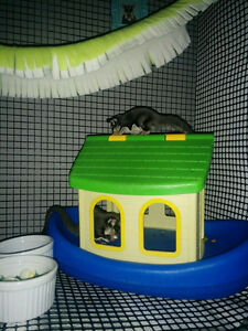 Two Male Sugar Gliders Looking for Forever Home Cambridge Kitchener Area image 6