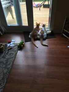 Free to a good home – 2 Male Cats – brothers/littermates Kitchener / Waterloo Kitchener Area image 1