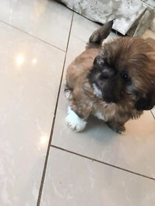 Small Dog Puppies For Sale Edmonton