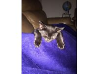Black Bengal cross kitten