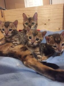 Beautiful Bengal kittens Now Available!