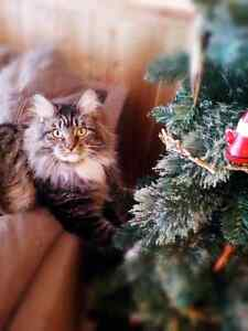 2 Adult Maine Coon Cats Purebred