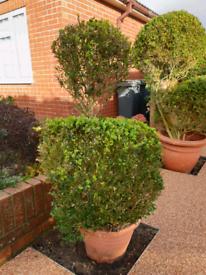 Box topiary