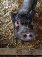 3 yr old male neutered pig - free