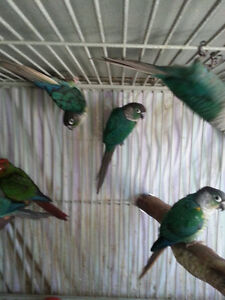 BLUE/TURQUOISE Y/S CONURE DNAed MALE (ONE LEFT)