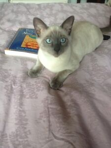 Siamese (seal & chocolate point) 250.00