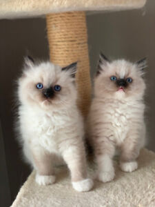 ADORABLE FLUFFY RAGDOLL KITTENS AVAILABLE!