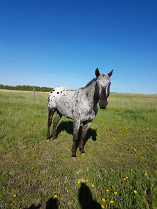 Registered Appaloosa Stud for sale