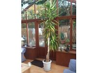 Yucca plant - 8ft with ceramic base